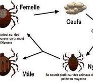 Les parasites externes :